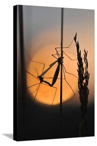 Gnats, Stalk, Mating, Silhouette, Sunrise-Harald Kroiss-Stretched Canvas Print