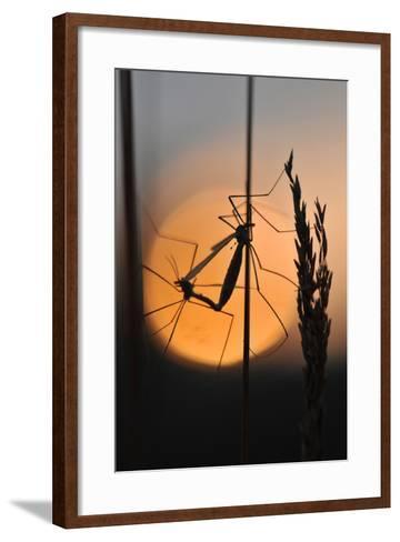 Gnats, Stalk, Mating, Silhouette, Sunrise-Harald Kroiss-Framed Art Print