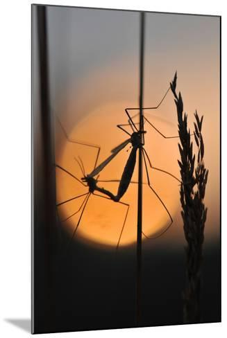 Gnats, Stalk, Mating, Silhouette, Sunrise-Harald Kroiss-Mounted Photographic Print