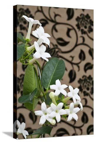 Madagascar Jasmine or Waxflower, Blossoms, Indoor Plant, Climbing Plant-Sweet Ink-Stretched Canvas Print