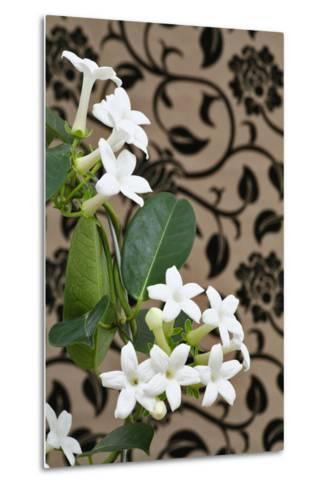 Madagascar Jasmine or Waxflower, Blossoms, Indoor Plant, Climbing Plant-Sweet Ink-Metal Print