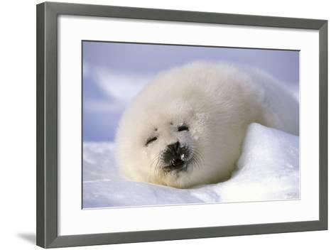 Canada, Iles De La Madeleine Saddle-Seal Pagophilus Groenlandicus Young Sleeps, Series-Frank Lukasseck-Framed Art Print