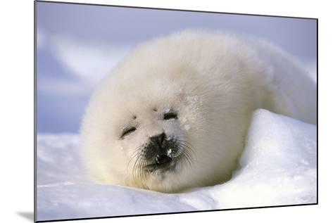 Canada, Iles De La Madeleine Saddle-Seal Pagophilus Groenlandicus Young Sleeps, Series-Frank Lukasseck-Mounted Photographic Print