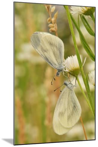 Wood White Butterflies, Two, Mating-Harald Kroiss-Mounted Photographic Print