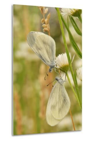 Wood White Butterflies, Two, Mating-Harald Kroiss-Metal Print