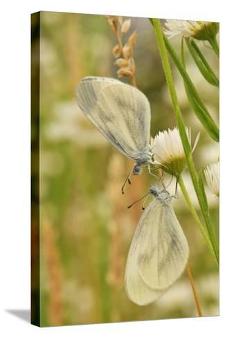 Wood White Butterflies, Two, Mating-Harald Kroiss-Stretched Canvas Print