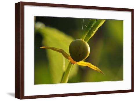 Goldenrod Crab Spider, Yellow, Female-Harald Kroiss-Framed Art Print