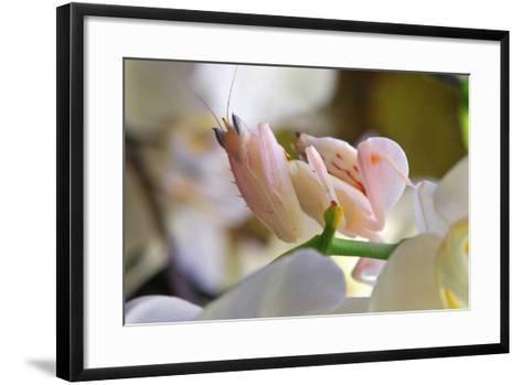 Praying Mantis, Orchid Mantis, Attack Position-Harald Kroiss-Framed Art Print