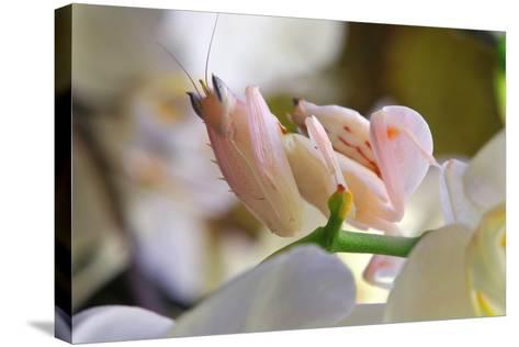 Praying Mantis, Orchid Mantis, Attack Position-Harald Kroiss-Stretched Canvas Print