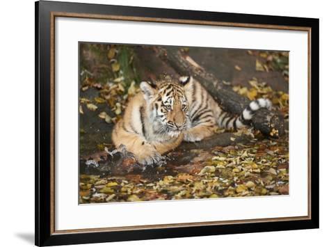 Siberian Tiger, Panthera Tigris Altaica, Young Animal, Side View, Lying, Looking at Camera-David & Micha Sheldon-Framed Art Print