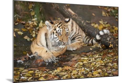 Siberian Tiger, Panthera Tigris Altaica, Young Animal, Side View, Lying, Looking at Camera-David & Micha Sheldon-Mounted Photographic Print