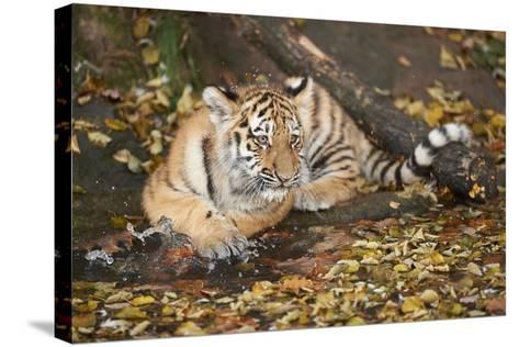 Siberian Tiger, Panthera Tigris Altaica, Young Animal, Side View, Lying, Looking at Camera-David & Micha Sheldon-Stretched Canvas Print