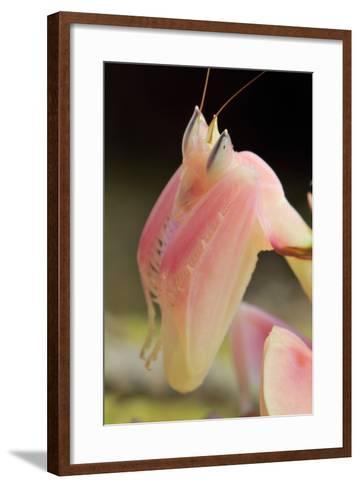 Praying Mantis, Orchid Mantis, Attack Position, Portrait, Tentacles-Harald Kroiss-Framed Art Print