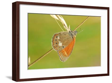 Pearly Heath Butterfly, Blade of Grass-Harald Kroiss-Framed Art Print