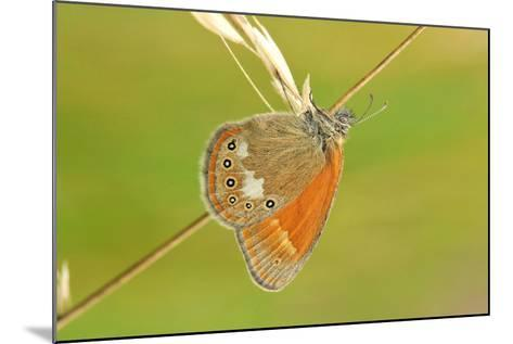 Pearly Heath Butterfly, Blade of Grass-Harald Kroiss-Mounted Photographic Print