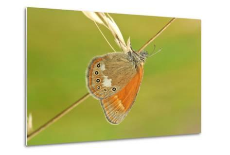 Pearly Heath Butterfly, Blade of Grass-Harald Kroiss-Metal Print
