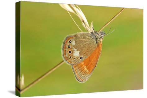 Pearly Heath Butterfly, Blade of Grass-Harald Kroiss-Stretched Canvas Print