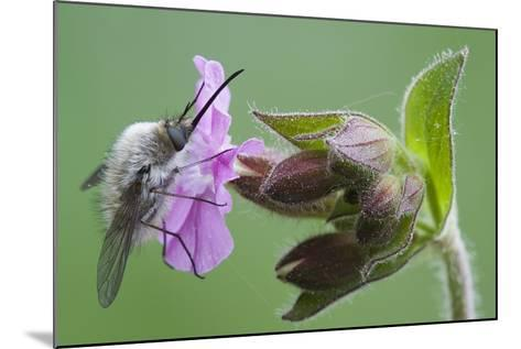 Plant, True Comfrey, Symphytum Officinale, Insect-Rainer Mirau-Mounted Photographic Print