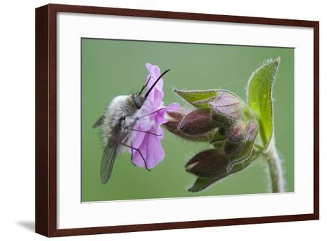 Plant, True Comfrey, Symphytum Officinale, Insect-Rainer Mirau-Framed Art Print