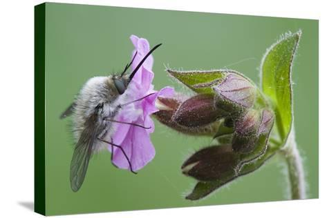 Plant, True Comfrey, Symphytum Officinale, Insect-Rainer Mirau-Stretched Canvas Print