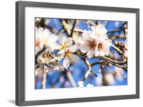 Blossoming Almond Blossoms with Blue Sky, Close-Up, Spring, Santa Maria Del Cami, Majorca-P. Kaczynski-Framed Art Print
