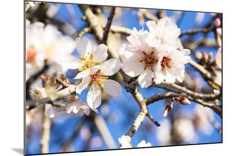 Blossoming Almond Blossoms with Blue Sky, Close-Up, Spring, Santa Maria Del Cami, Majorca-P. Kaczynski-Mounted Photographic Print