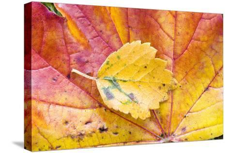 Autumn Leaves, Close-Up-Frank Lukasseck-Stretched Canvas Print