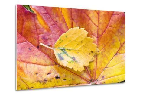 Autumn Leaves, Close-Up-Frank Lukasseck-Metal Print