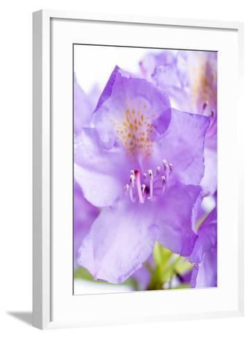 Rhododendron, Blossoms, Close-Up-Frank Lukasseck-Framed Art Print