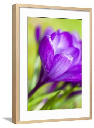 Purple Crocus, Blossom, Close-Up-Frank Lukasseck-Framed Art Print