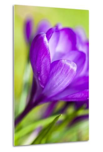 Purple Crocus, Blossom, Close-Up-Frank Lukasseck-Metal Print