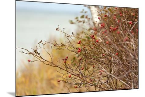 The Baltic Sea, R?gen, Rose Hip Shrub-Catharina Lux-Mounted Photographic Print