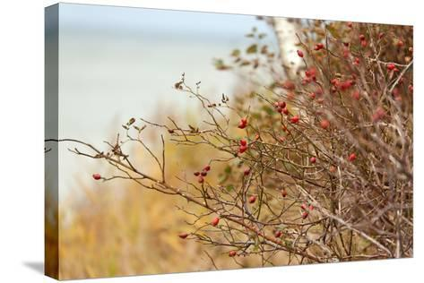 The Baltic Sea, R?gen, Rose Hip Shrub-Catharina Lux-Stretched Canvas Print