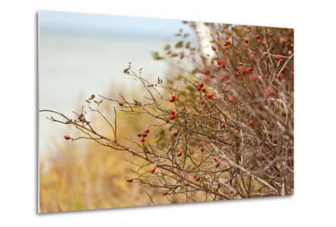 The Baltic Sea, R?gen, Rose Hip Shrub-Catharina Lux-Metal Print