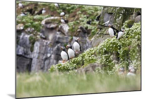 Iceland, Grimsey, Rock, Atlantic Puffin, Fratercula Arctica-Frank Lukasseck-Mounted Photographic Print