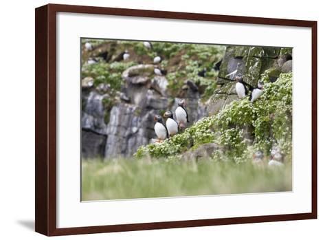 Iceland, Grimsey, Rock, Atlantic Puffin, Fratercula Arctica-Frank Lukasseck-Framed Art Print