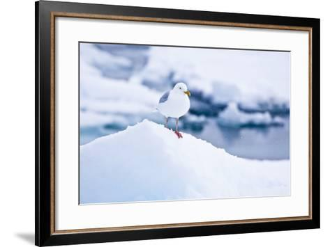 Floe, Glaucous Gull, Larus Hyperboreus-Frank Lukasseck-Framed Art Print