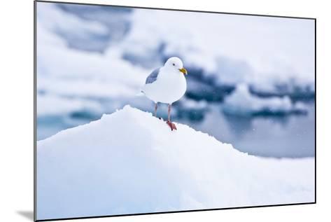 Floe, Glaucous Gull, Larus Hyperboreus-Frank Lukasseck-Mounted Photographic Print