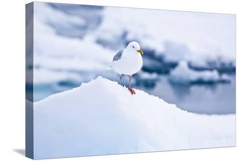 Floe, Glaucous Gull, Larus Hyperboreus-Frank Lukasseck-Stretched Canvas Print