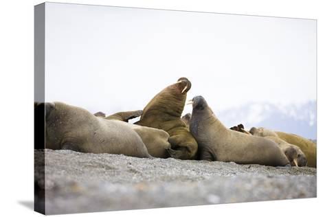 Beach, Walruses, Odobenus Rosmarus-Frank Lukasseck-Stretched Canvas Print