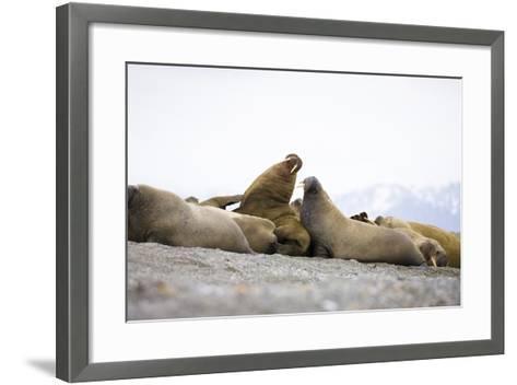 Beach, Walruses, Odobenus Rosmarus-Frank Lukasseck-Framed Art Print