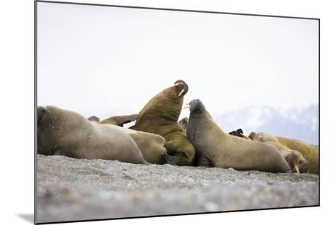 Beach, Walruses, Odobenus Rosmarus-Frank Lukasseck-Mounted Photographic Print