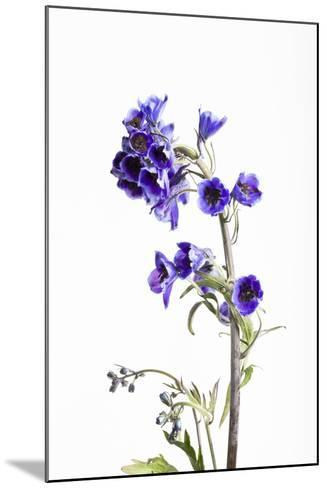 Larkspur, Consolida Regalis, Detail, Blossoms-Frank Lukasseck-Mounted Photographic Print