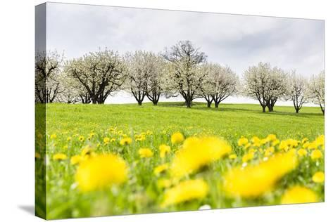 Blossoming Cherry Trees on a Meadow Full of Dandelion (Taraxacum Officinale), Spring, Basel Country-P. Kaczynski-Stretched Canvas Print