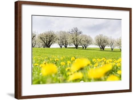 Blossoming Cherry Trees on a Meadow Full of Dandelion (Taraxacum Officinale), Spring, Basel Country-P. Kaczynski-Framed Art Print