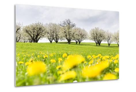 Blossoming Cherry Trees on a Meadow Full of Dandelion (Taraxacum Officinale), Spring, Basel Country-P. Kaczynski-Metal Print