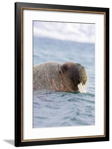 The Atlantic, Walrus, Odobenus Rosmarus, Side Portrait-Frank Lukasseck-Framed Art Print