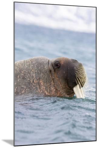 The Atlantic, Walrus, Odobenus Rosmarus, Side Portrait-Frank Lukasseck-Mounted Photographic Print