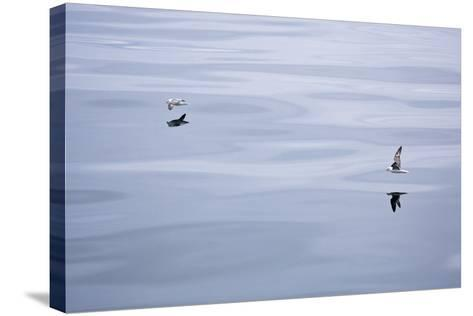The North Atlantic, Fulmars, Fulmarus Glacialis, Flight-Frank Lukasseck-Stretched Canvas Print