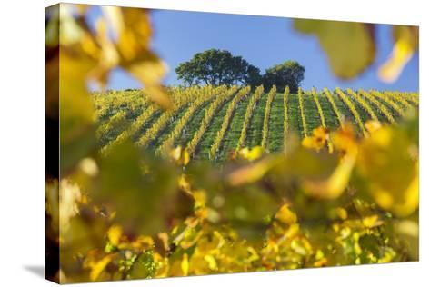 Autumnal Vineyards Between Gumpoldskirchen and Baden Bei Wien, Vienna Basin, Lower Austria, Austria-Rainer Mirau-Stretched Canvas Print